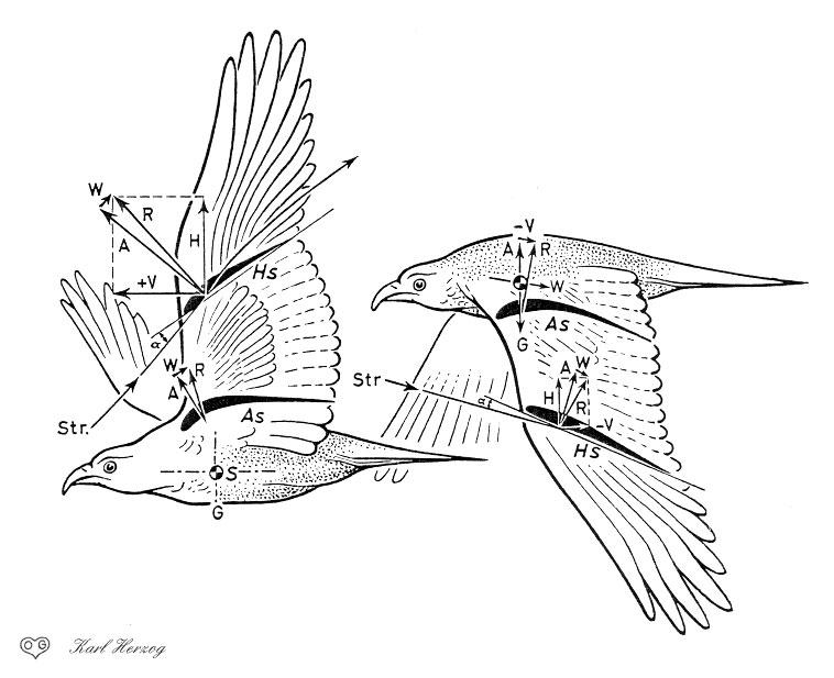 Pigeon Wing Anatomy