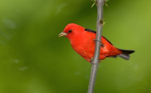 Scarlet Tanager wikimedia commons