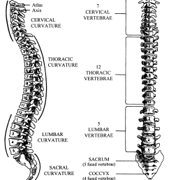 reproduced with permission from ashton miller ja schultz ab biomechanics of the human spine  [ 1175 x 1375 Pixel ]