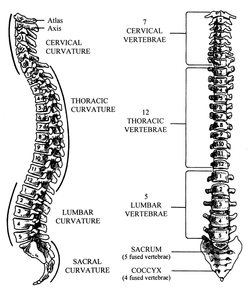 medium resolution of  reproduced with permission from ashton miller ja schultz ab biomechanics of the human spine