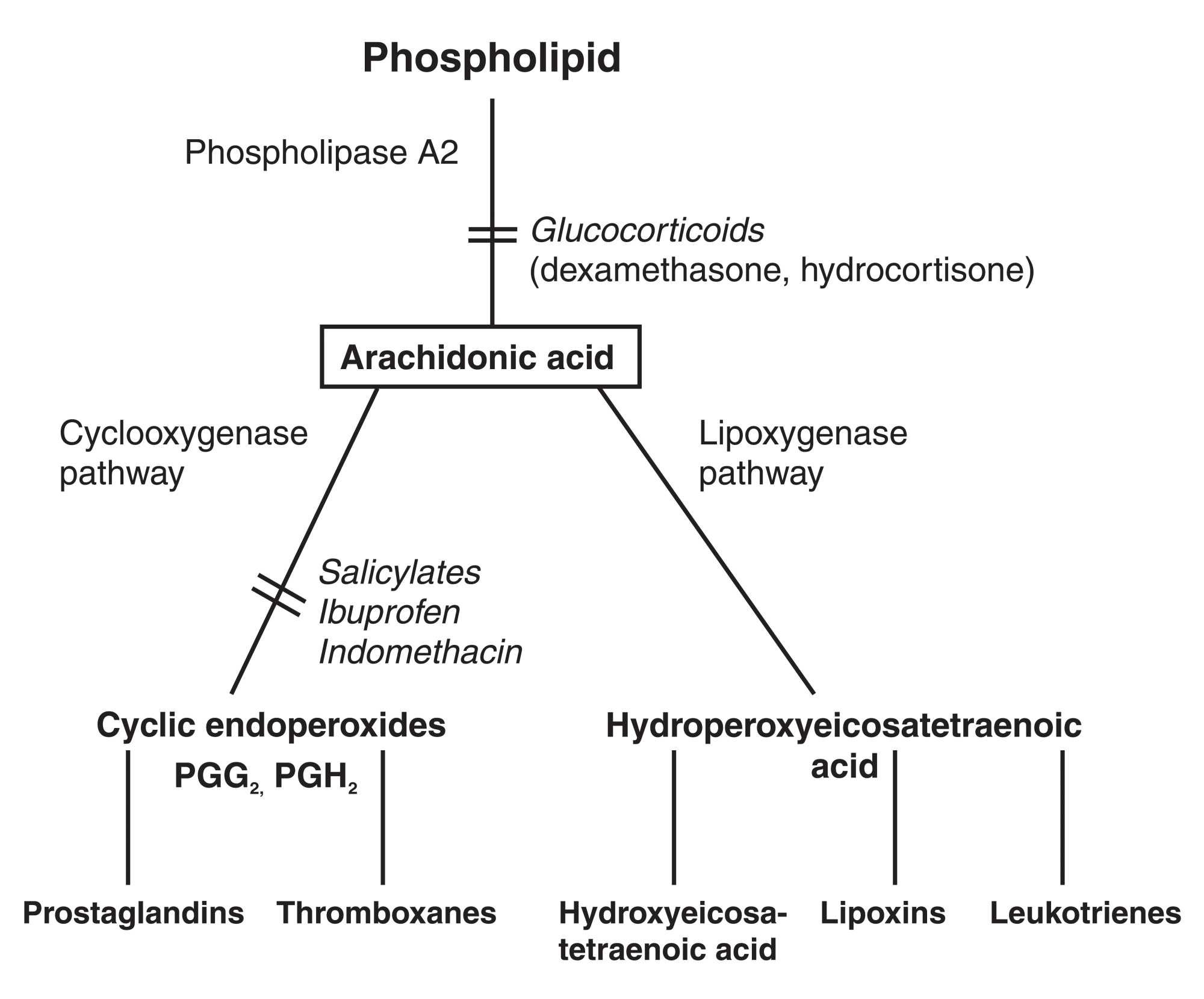 hight resolution of the arachidonic acid cascade and points of inhibition by nsaids the cyclooxygenase pathway and glucocorticoids the conversion of phos pholipid into