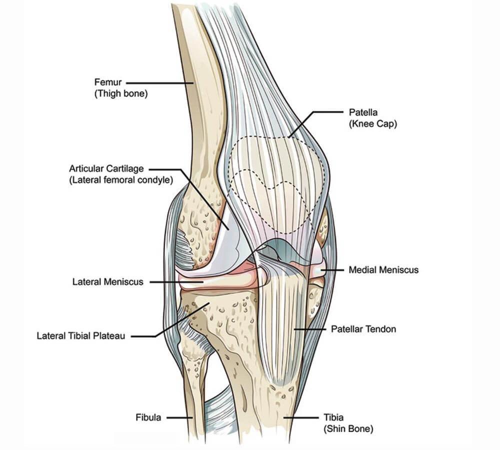 hight resolution of knee anatomy