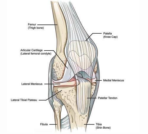 small resolution of knee anatomy