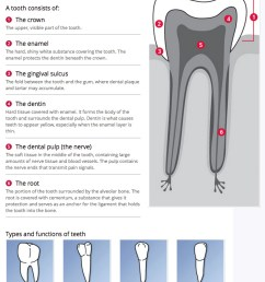dental anatomy and function [ 746 x 1162 Pixel ]