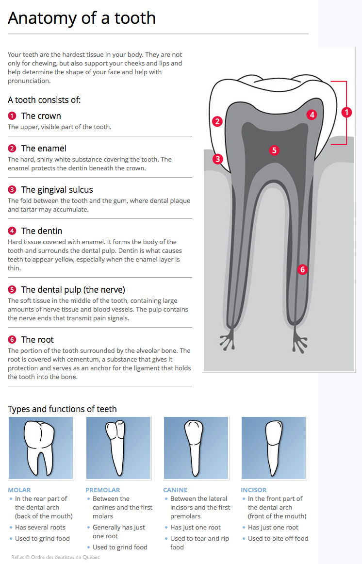 hight resolution of dental anatomy and function