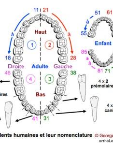 Dental notation fdi numbering dolisi dentition also anatomy bucco rh orthodontisteenligne