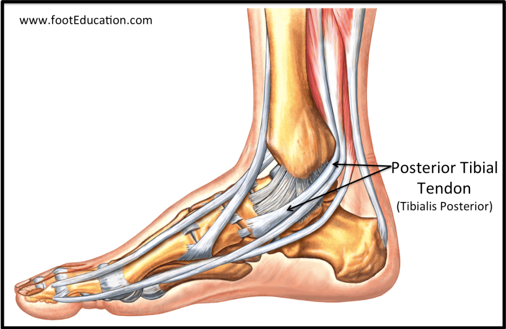 medium resolution of figure 2 tibialis posterior tendon