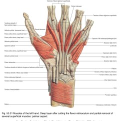 Hand Muscles Diagram 240v Receptacle Wiring Applied Anatomy Of The Wrist Thumb And Tendinous Structures Fig