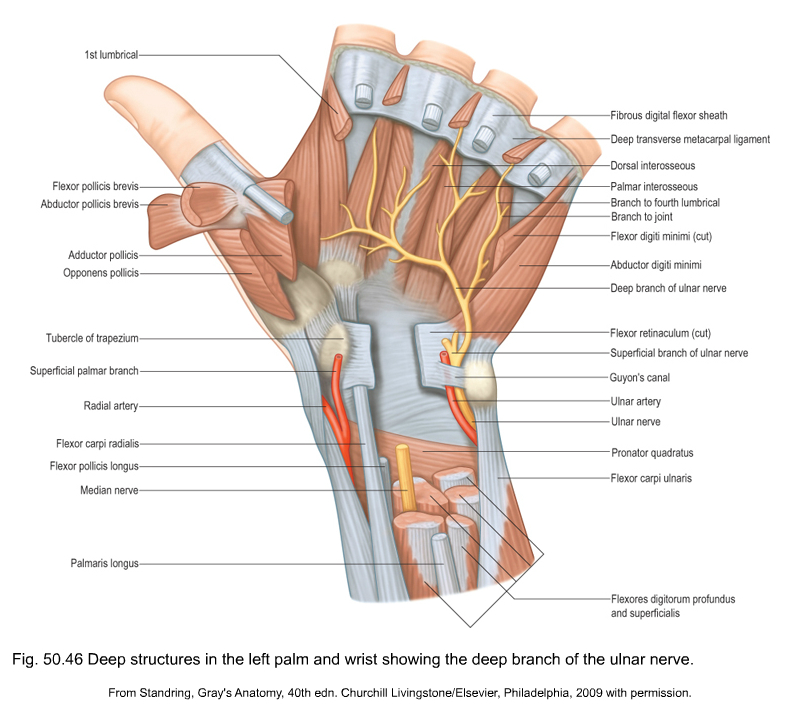 hand nerves diagram orbit sprinkler parts applied anatomy of the wrist thumb and are also enclosed within this tunnel fig