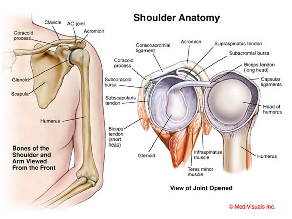 Image result for shoulder joint