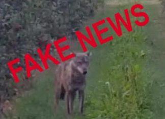Leggende metropolitane sul lupo – Fonte: Life Wolfalps