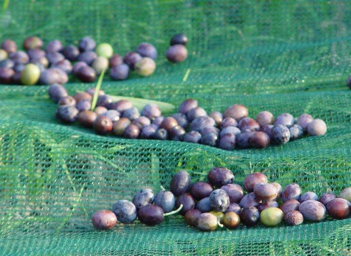 olive biologiche