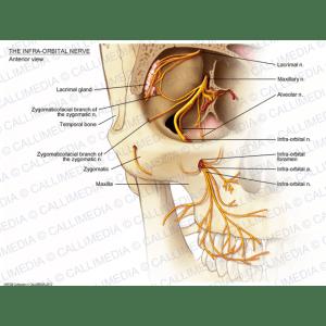 nervo-infraorbital-visao-anterior (1)
