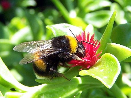 L'ape è un insetto utile per coltivare il tuo orto in modo naturale