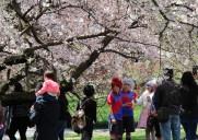 ブルックリン植物園の桜祭り