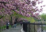 ジャクリーン・ケネディー・オナシス貯水池の桜並木を歩こう