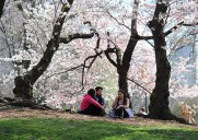 ニューヨークでお花見できる桜の名所5選