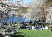 セントラルパークでお花見できる桜の名所3選