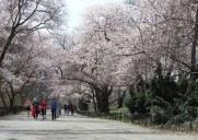 セントラルパークの桜並木