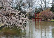 ブルックリン植物園の日本庭園に咲く桜