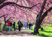 ニューヨークでお花見できる桜の名所10選