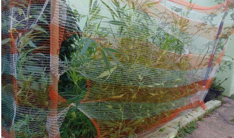 Direto do produtor: PM flagra plantação de maconha no Ayrosa