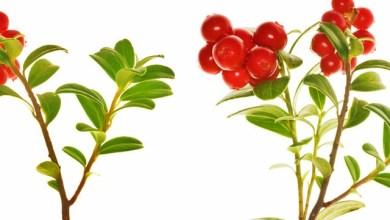 Червена боровинка срещу бяло течение и цистит