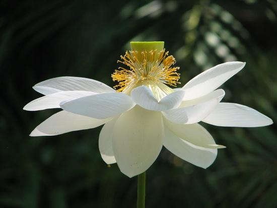 Lotus Splendour