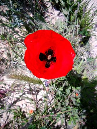 13 poppy heart Corfu