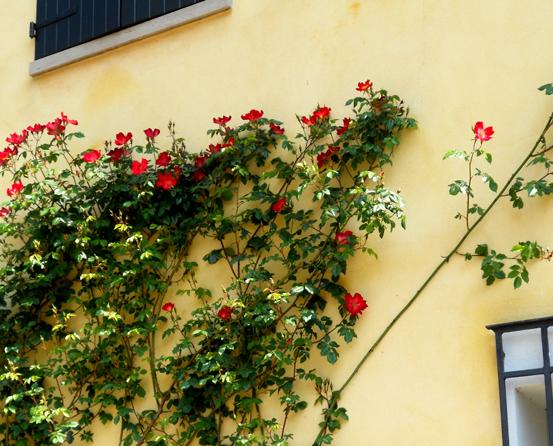 5 Roses on wall Italia