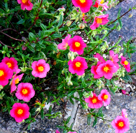 9 yellow centred pinks
