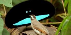 Mystifying Birds of Paradise