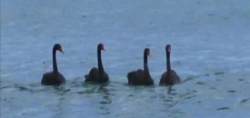 Surf's Up for Black Swans
