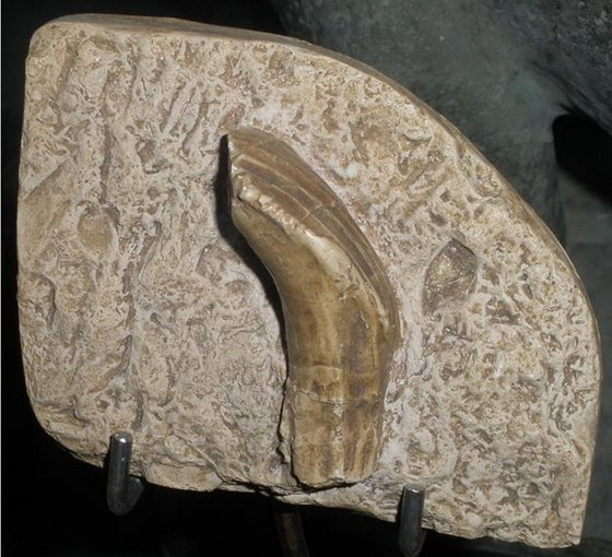 Saurian tooth
