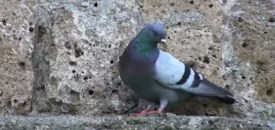 Behold the noble pigeon