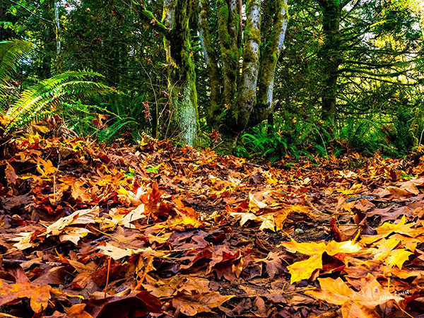 Autumn leaves by Allan Forest