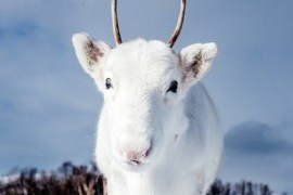 White reindeer Feat