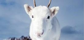 Rare white reindeer found in northern Norway