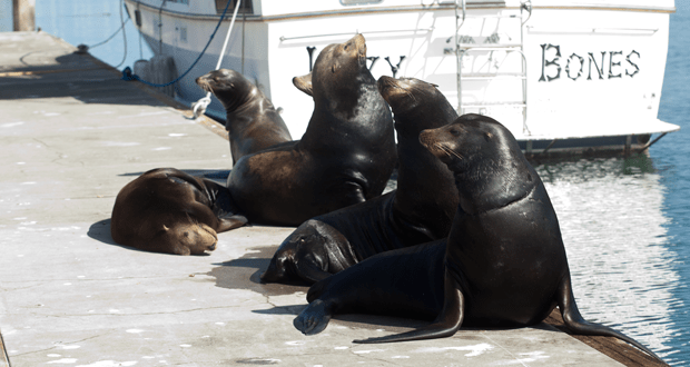 Five adult sea lions didn't pay much attention to the plight of the pup