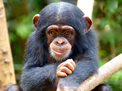 A juvenile orphaned chimpanzee at the Tacugama Chimpanzee Sanctuary in Sierra Leon, Africa. The Ebola outbreak has negatively affected tourism in the area, resulting in a decrease in funding for the Sanctuary.  The SeaWorld & Busch Gardens Conservation Fund board reviewed and approved the crisis grant request and provided financial support to offset their funding issues.