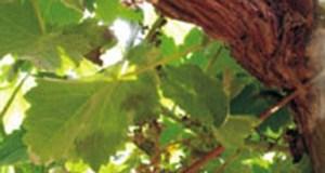 O control do mildio na vide, tema que abre as xornadas do Evega deste ano