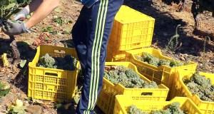 A D.O. Valdeorras pon en marcha a vendima galega