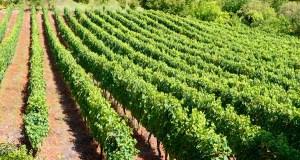 Ábrese o prazo para pedir axudas de reestruturación e reconversión de viñedo