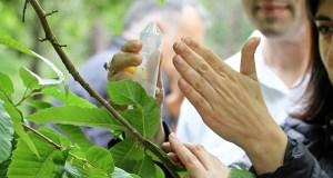 Medio Rural soltará este ano 790.000 individuos de Torymus sinensis para loitar contra a avespiña do castiñeiros