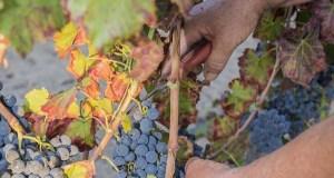 A D.O. Valdeorras pedirá axudas para os viticultores afectados por diferentes pragas