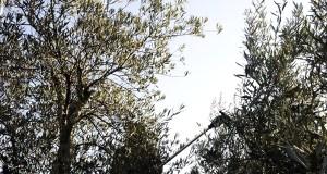 Oliveiras en Quiroga e cereais no Barco, entre os proxectos galegos para pór en valor terras abandonadas