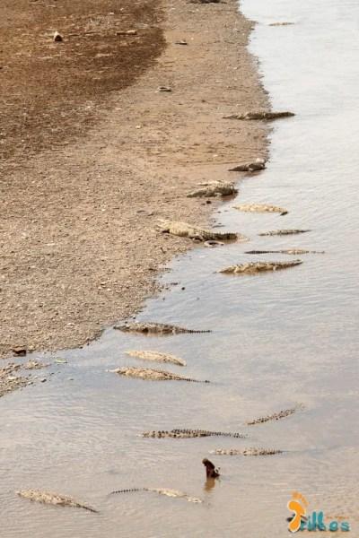 Crocodilos do Rio Tarcoles - Costa Rica-2