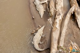 Crocodilos do Rio Tarcoles - Costa Rica-5