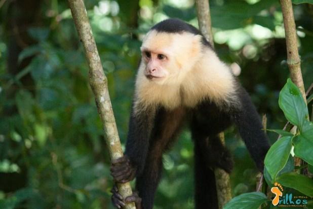 Mono Capuchino - Parque Natural Manuel Antonio