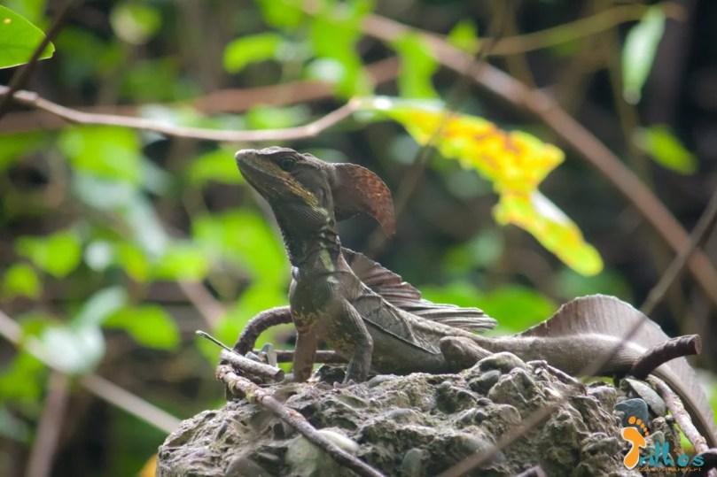 Iguana Negra - Parque Natural Manuel Antonio - Costa Rica-5